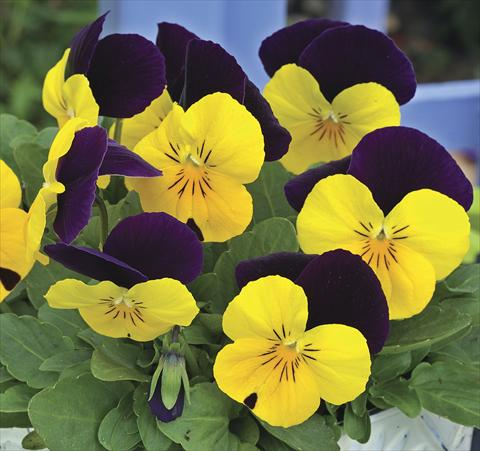 photo of flower to be used as: Bedding / border plant Viola cornuta Penny Peach Jump up