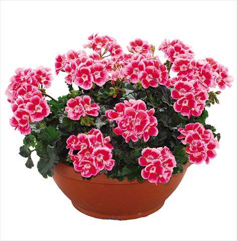 photo of flower to be used as: Pot Pelargonium zonale Openeyes Pink Red Splash