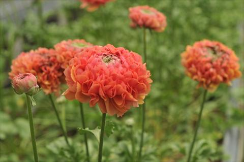 photo of flower to be used as: Cutflower Ranunculus asiaticus Ponpon Minerva