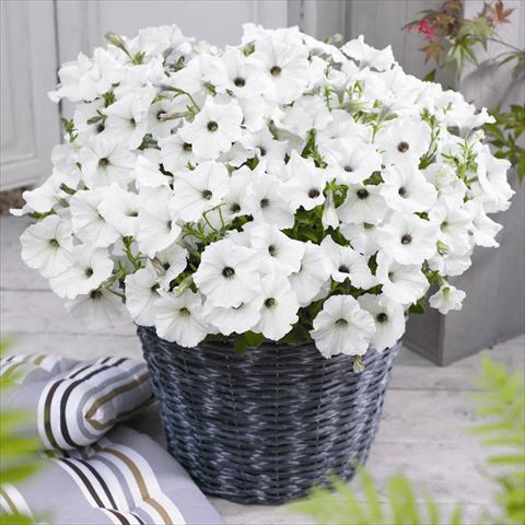 photo of flower to be used as: Pot and bedding Petunia hybrida GO!Tunia® White