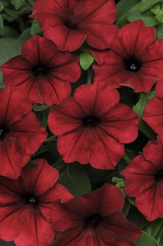 photo of flower to be used as: Pot and bedding Petunia x hybrida Tidal Wave Red Velour