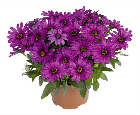 pot en perkplant osteospermum red fox swing purple. Black Bedroom Furniture Sets. Home Design Ideas
