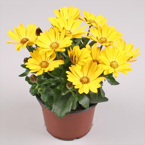 pot en perkplant osteospermum cape daisy yellow halo. Black Bedroom Furniture Sets. Home Design Ideas